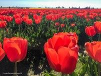 Tulip-Festival-3