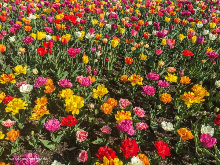 Tulip-Festival-6